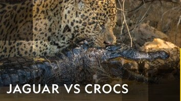 Jaguar Vs Crocs