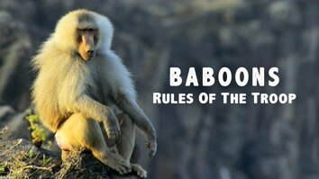 Baboons: Rules Of The Troop